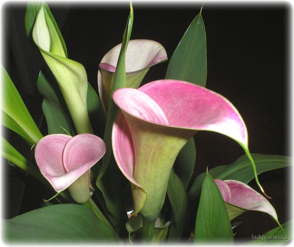 Calla Lily Dreaming by ladyvanessa