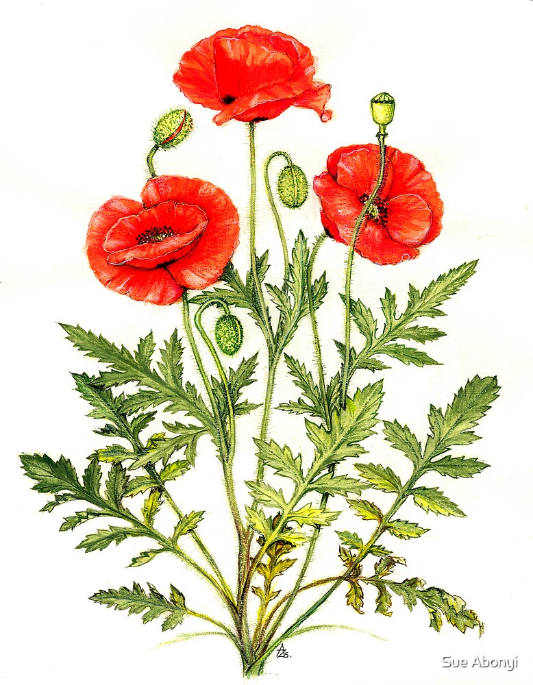 Quot Poppy Papaver Rhoeas Quot By Sue Abonyi Redbubble