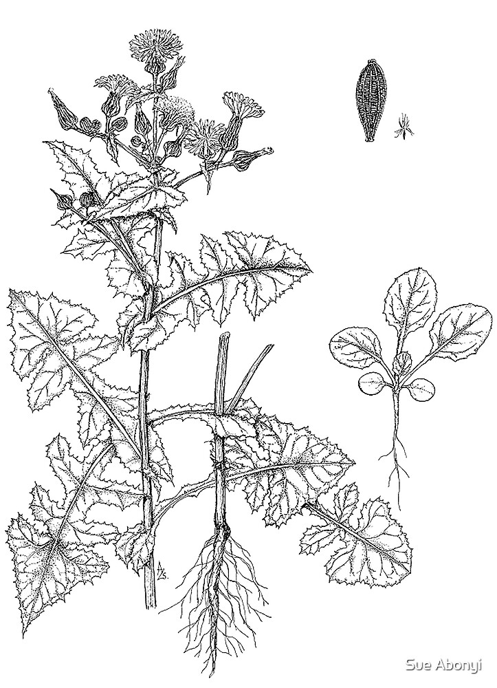 Common sowthistle - Sonchus oleraceus by Sue Abonyi