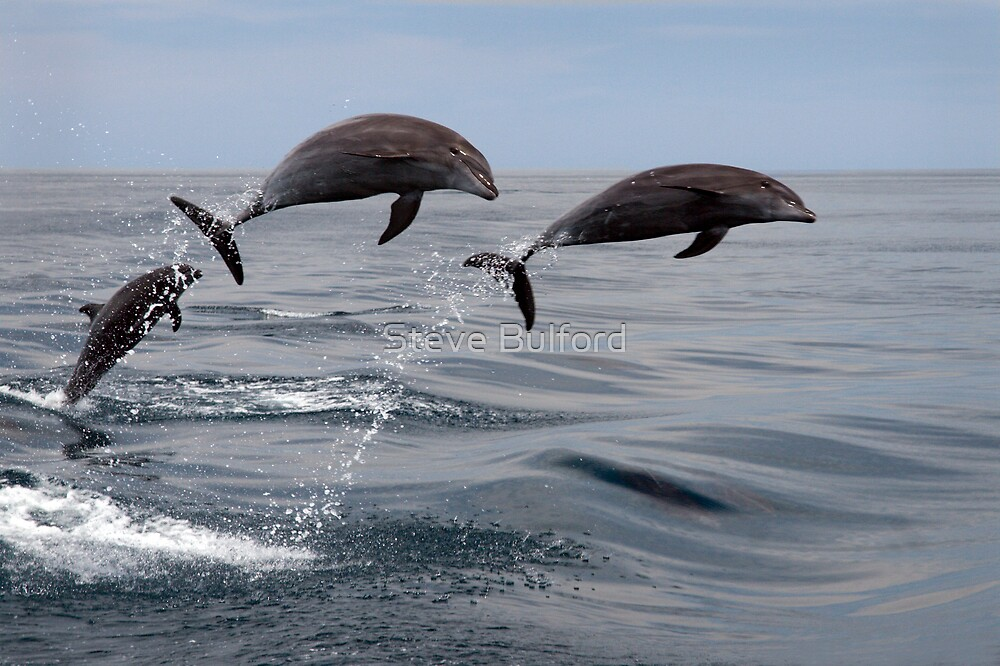Jumping Dolphins by Steve Bulford