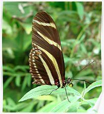 Zebra Longwing Butterfly - Closed Wings Poster