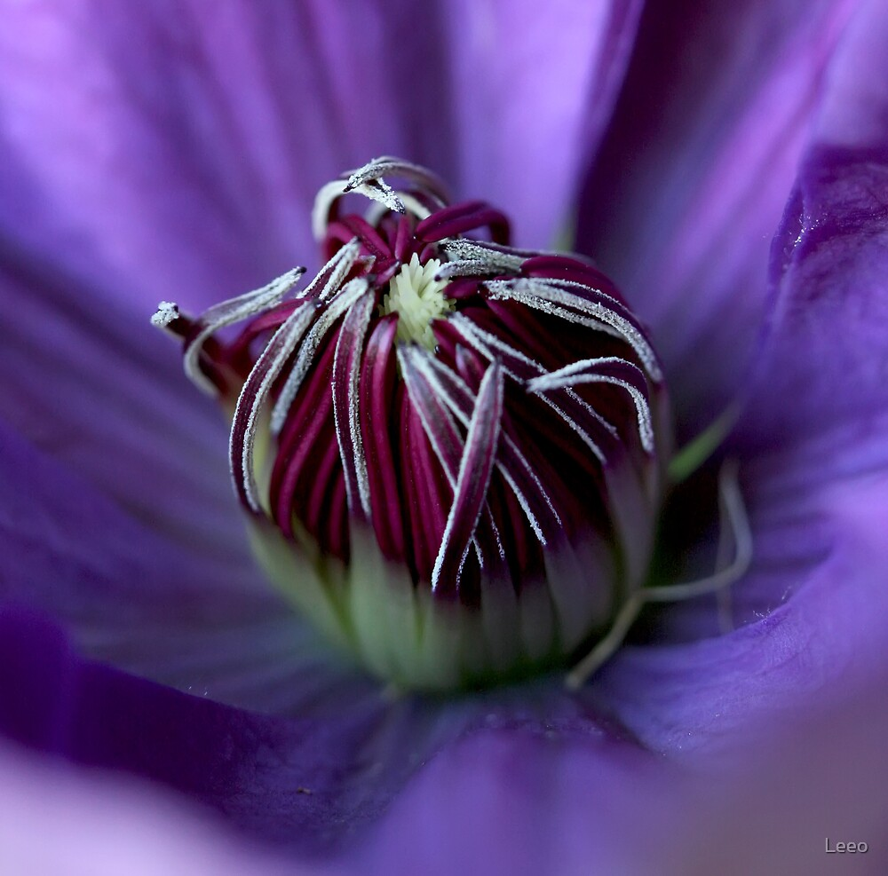 Clematis by Leeo