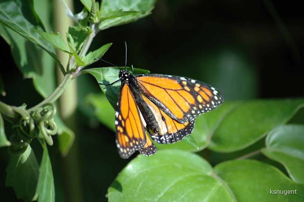 Orange Butterfly by ksnugent