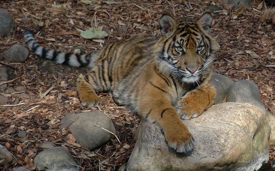 Baby Tiger by ksnugent