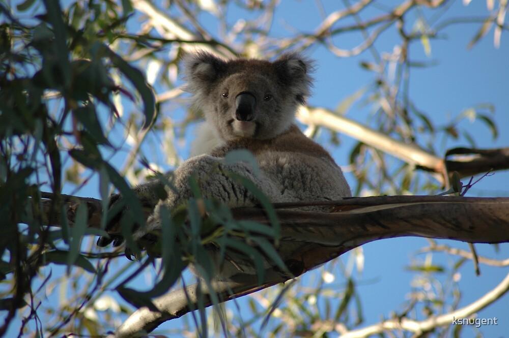 Koala by ksnugent