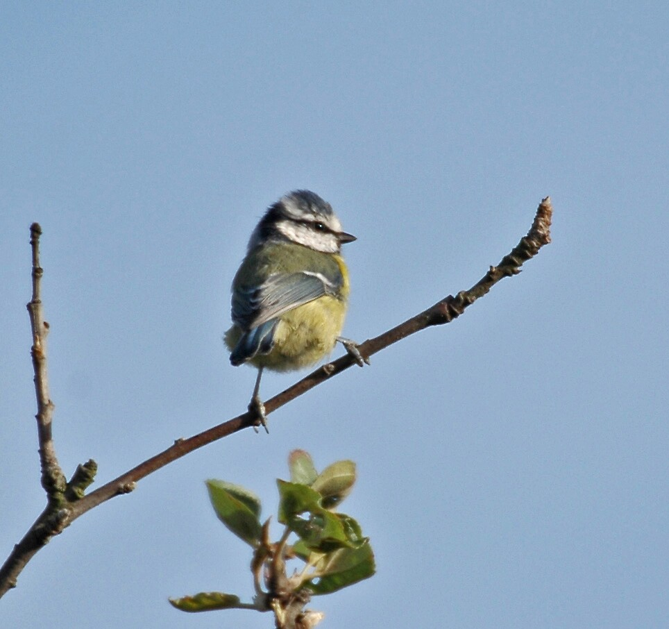 Blue Tit by Catherine Brock