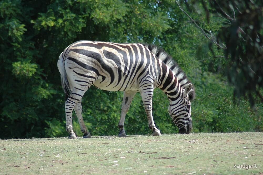 Zebra by ksnugent