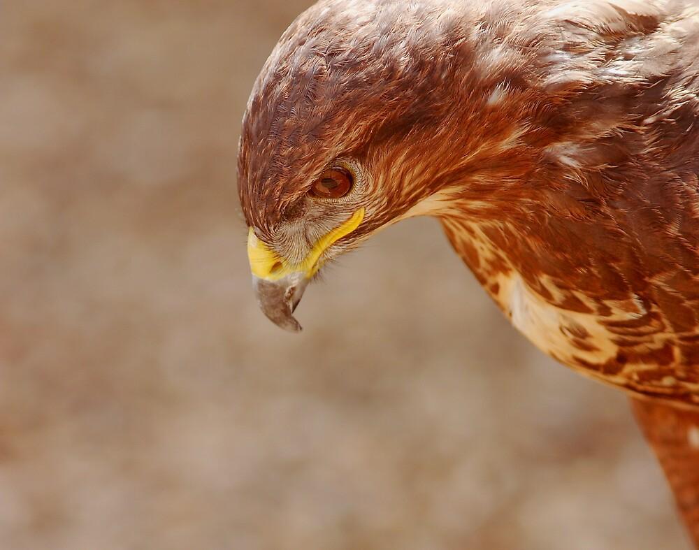 Hawk by kitlew