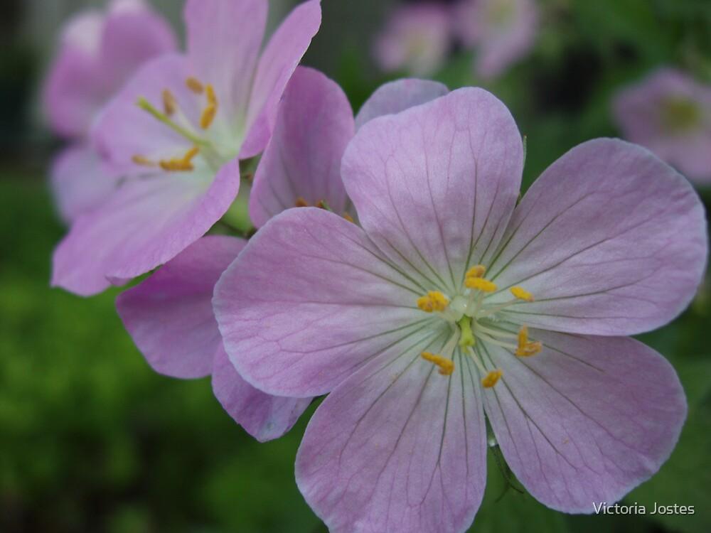 Common geranium by Victoria Jostes