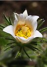 White Pasque Flower by Jo Nijenhuis