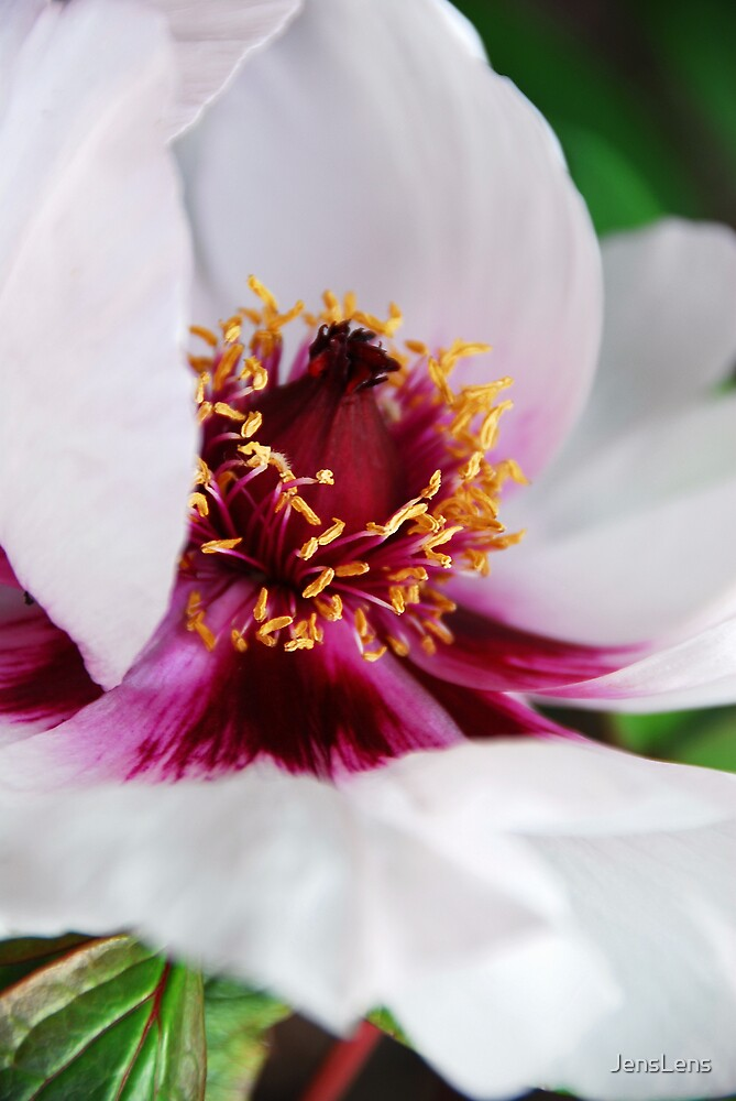 peony rose close up by JensLens
