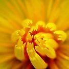 dandelion 1 by Luis Correia