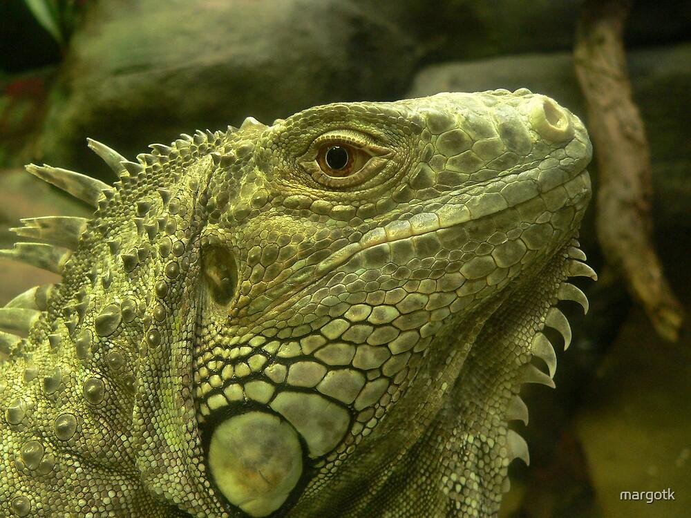 Common Iguana by margotk