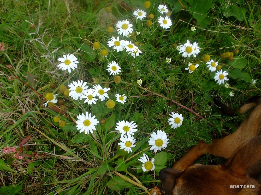 Wild Daisies of Ireland by anamcara