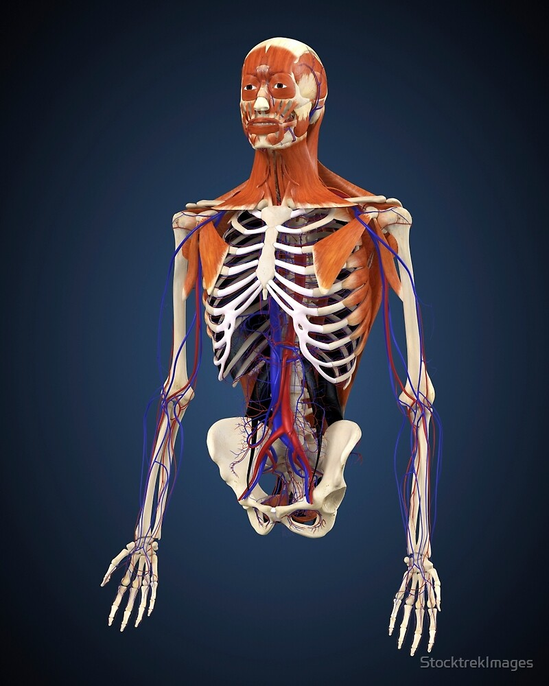 Human Upper Body Showing Bones Muscles And Circulatory System By