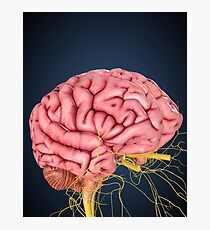 Human brain with nerves. Photographic Print