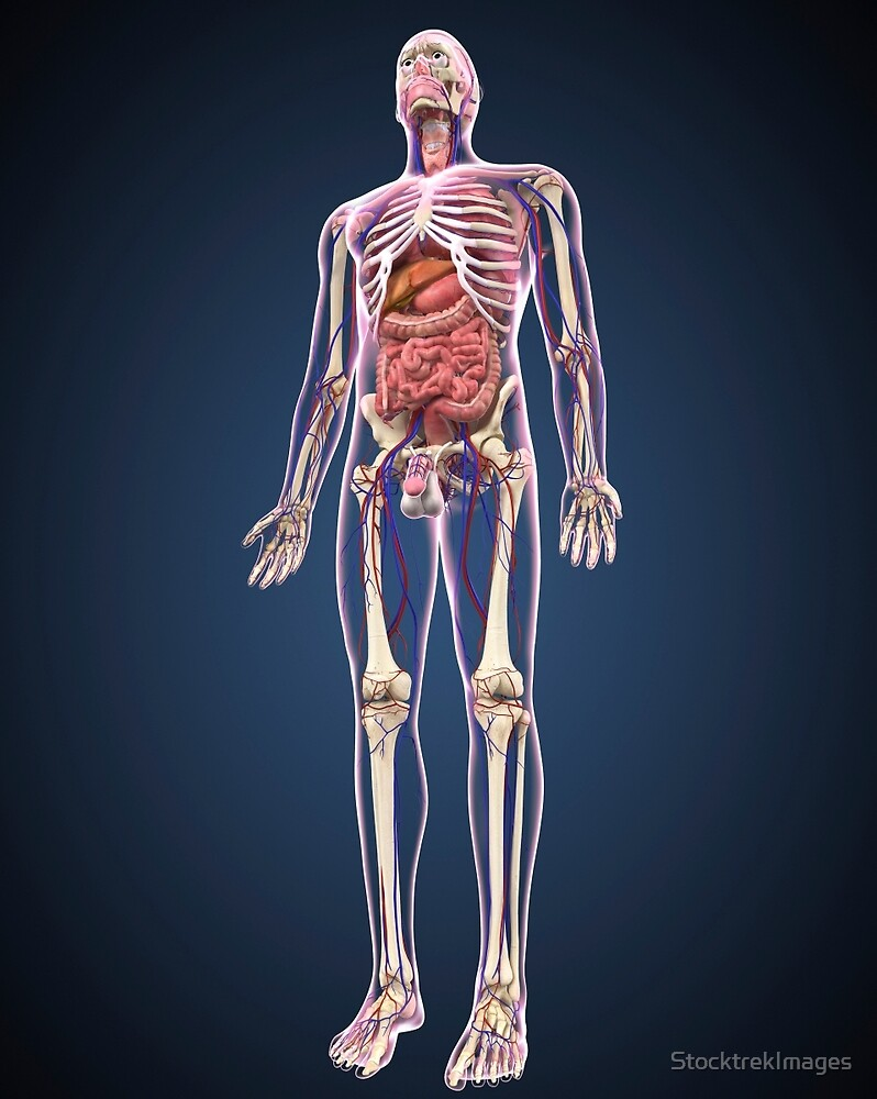 Full length view of male human body with organs, arteries and veins ...