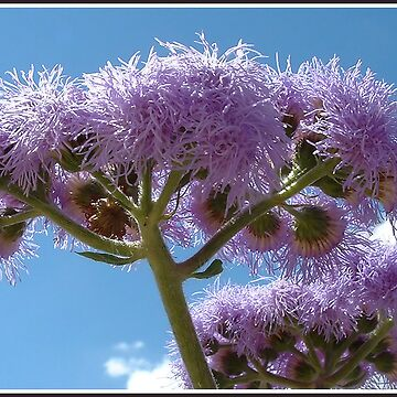 ageratum by mik27rc1