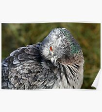 Preening feathers Poster