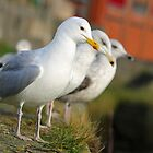 Gull trio by GreyFeatherPhot