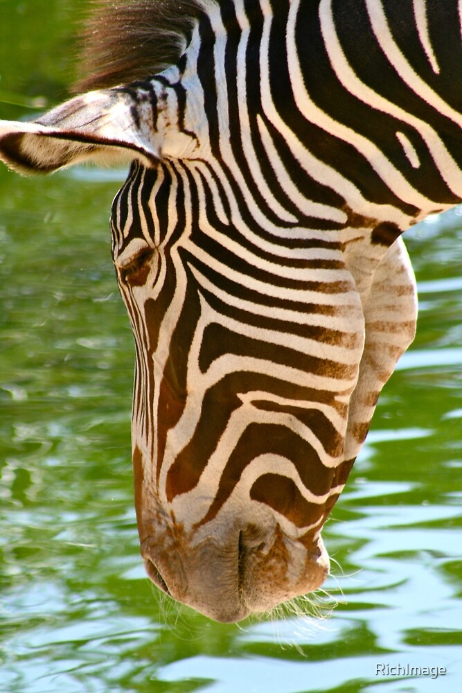 Zebra at water by RichImage