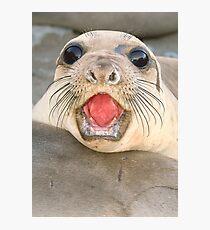 A female Elephant seal Mirounga angustirostris Photographic Print