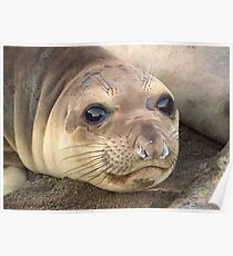 Young Elephant Seal pup Poster