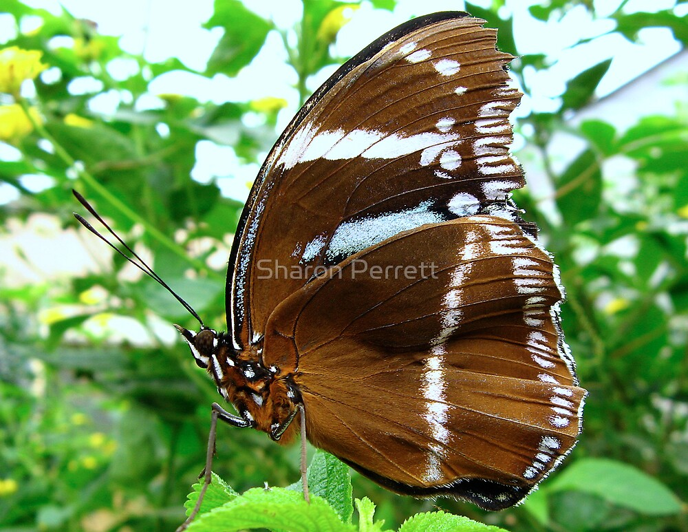 A Brown Butterfly by Sharon Perrett