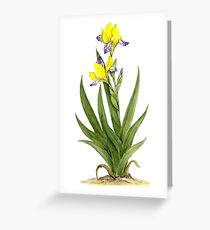 Hungarian Iris - Iris variegata Greeting Card