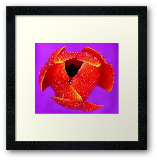 Tulip. by trevorb