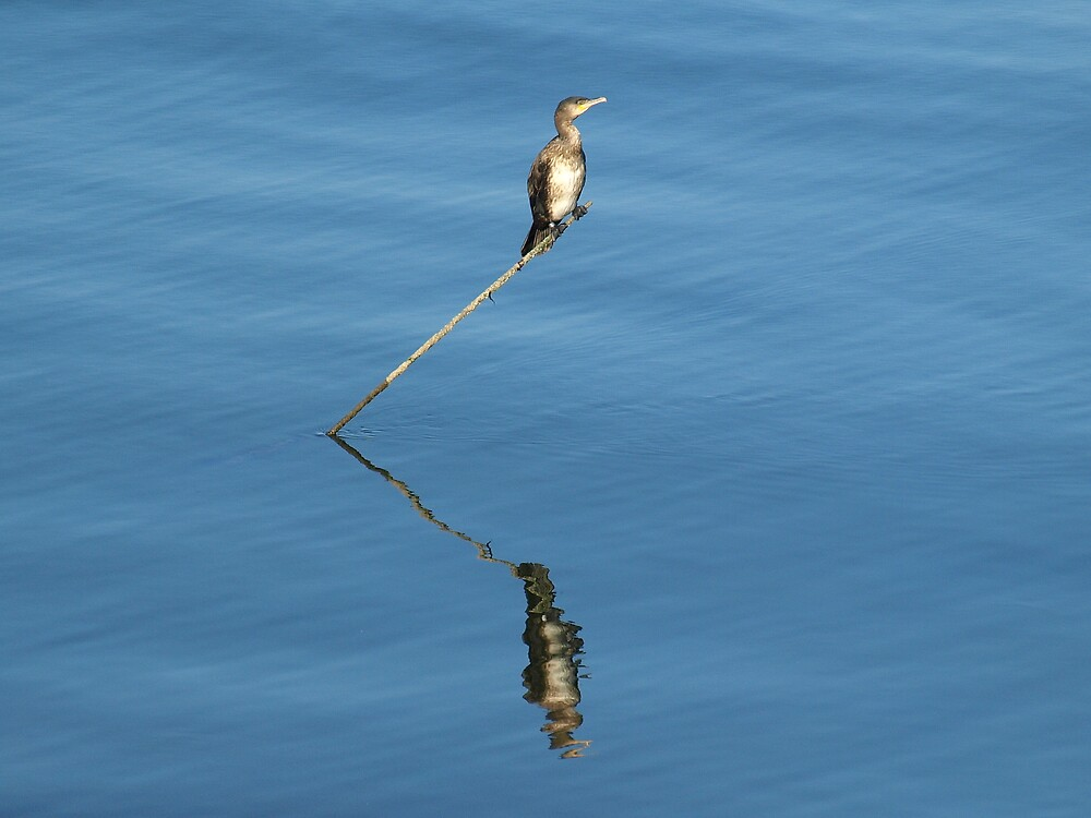 Cormorant by Alan Black