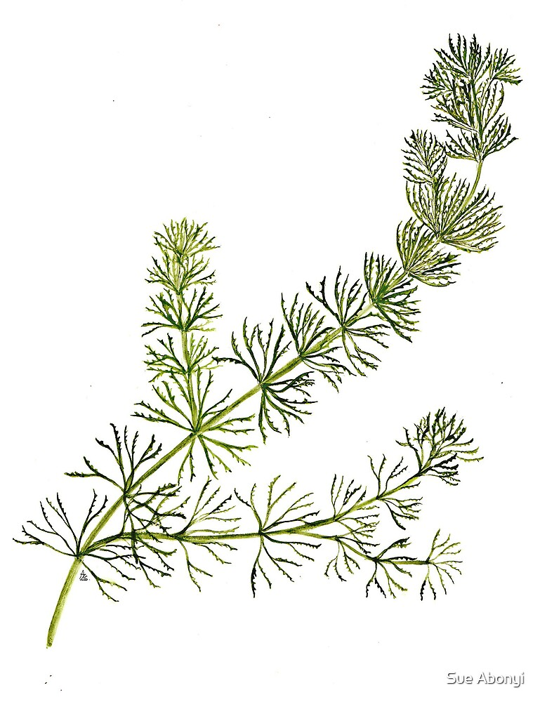 Rigid Hornwort - Ceratophyllum demersum by Sue Abonyi