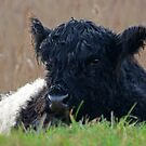 Belted Galloway by Tony Dewey