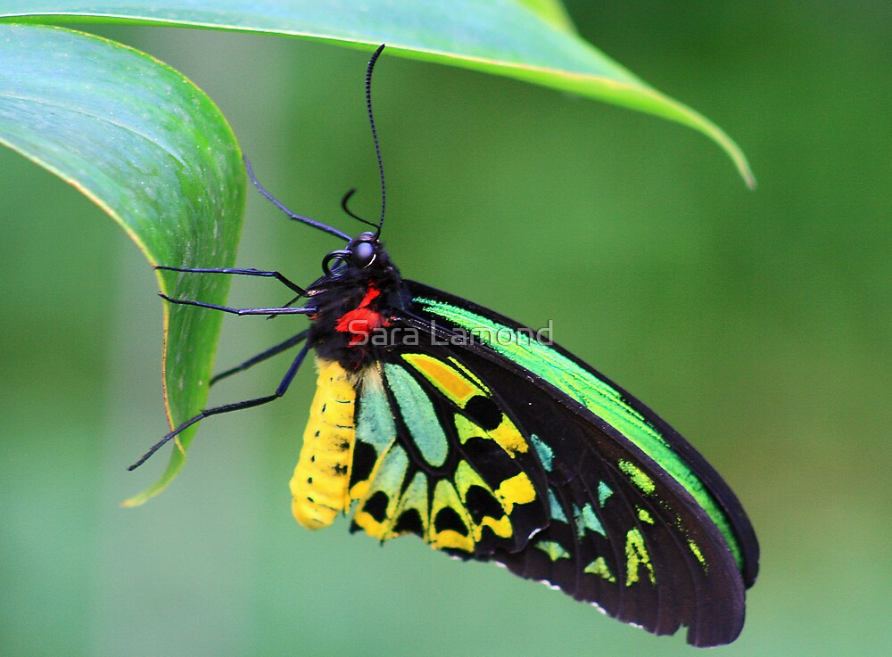 Butterfly at rest by Sara Lamond