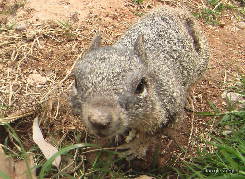 Ground Squirrel by Darryle Ziegler