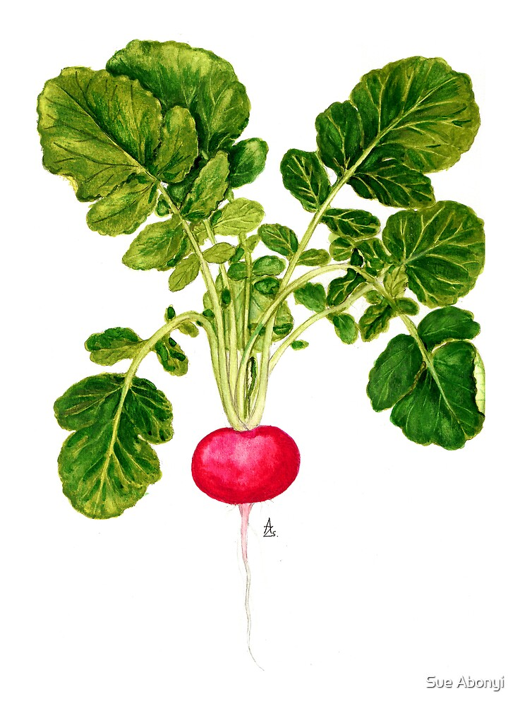 Radish - Raphanus sativus by Sue Abonyi