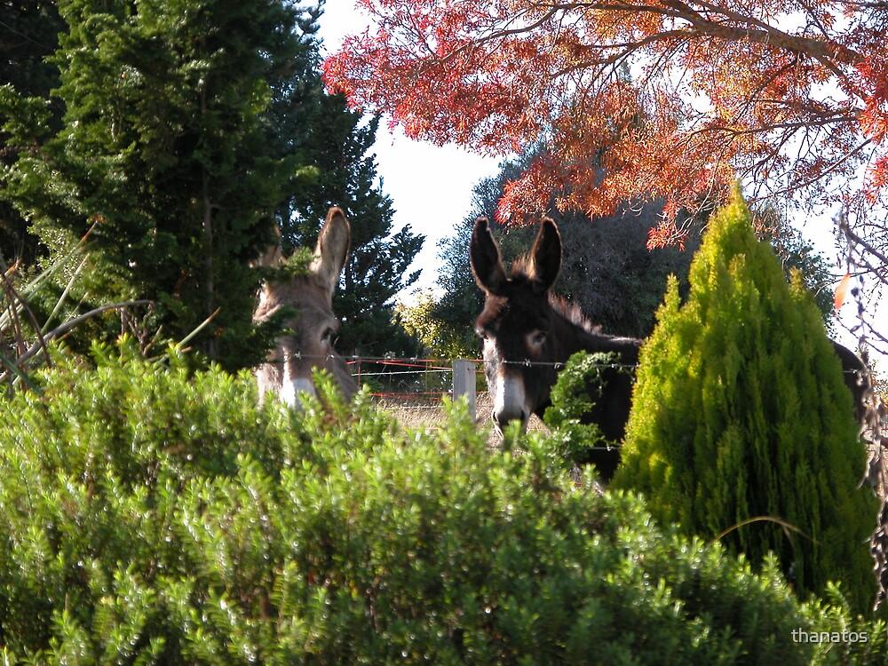 Two Donkeys by thanatos