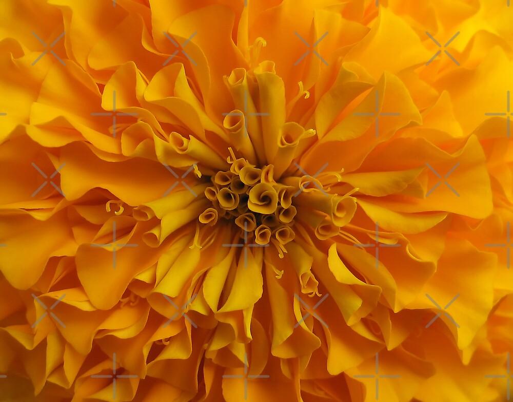 Marigold Macro by liewy