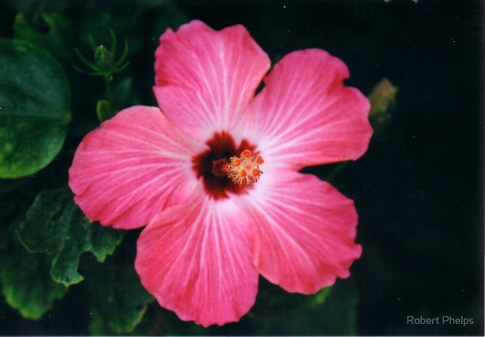 Pink Habiskus by Robert Phelps