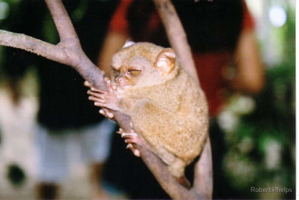 Tarsius syrichta - Philippine tarsier by Robert Phelps