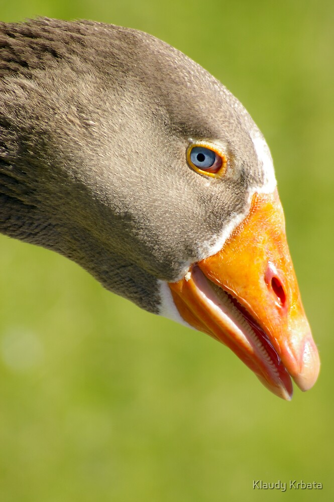 goose by Klaudy Krbata