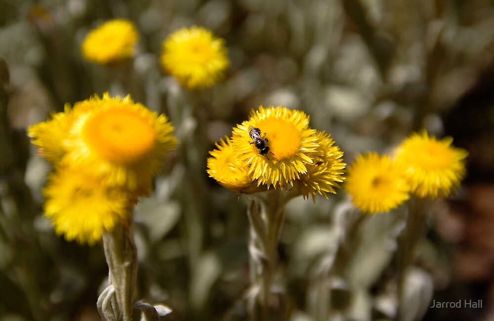 Australian Native Flowers With a Native Bee by Jarrod Hall