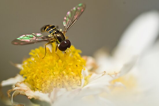 Hover Fly by Leisa  Hennessy