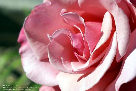 Pink - Kissed by the afternoon sun; Patricia Merz Garden, Gr. Hills, CA USA by leih2008