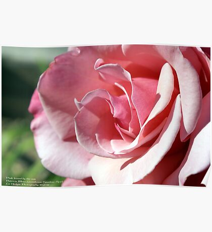Pink - Kissed by the afternoon sun; Patricia Merz Garden, Gr. Hills, CA USA Poster