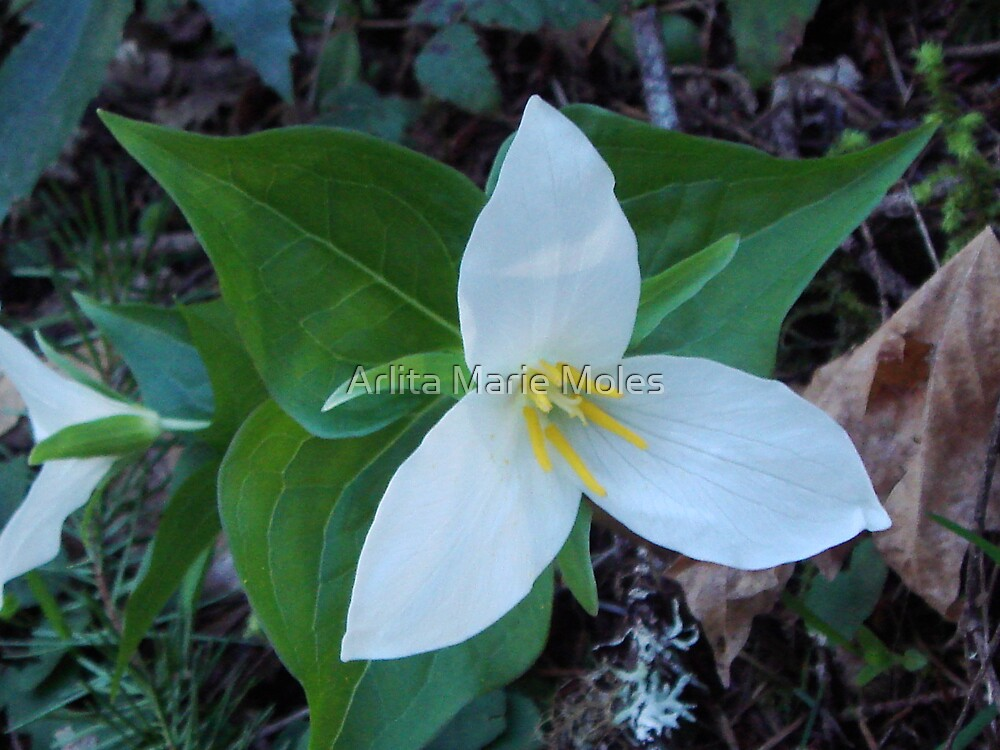 Wild Flowers by Arlita Marie Moles