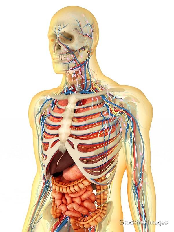 Láminas fotográficas «Cuerpo humano con órganos internos, sistema ...