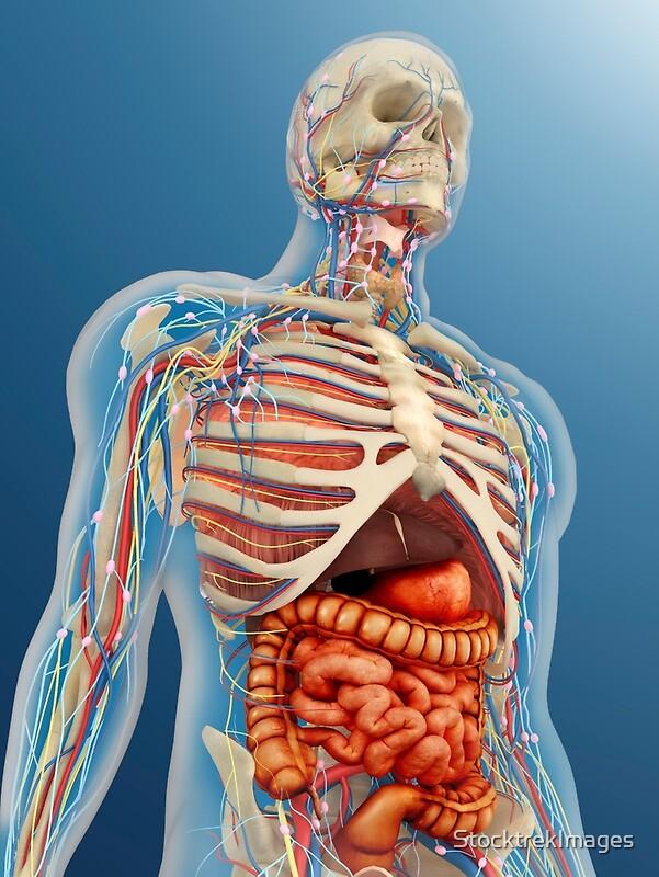 Pósters «Cuerpo humano con órganos internos, sistema nervioso ...