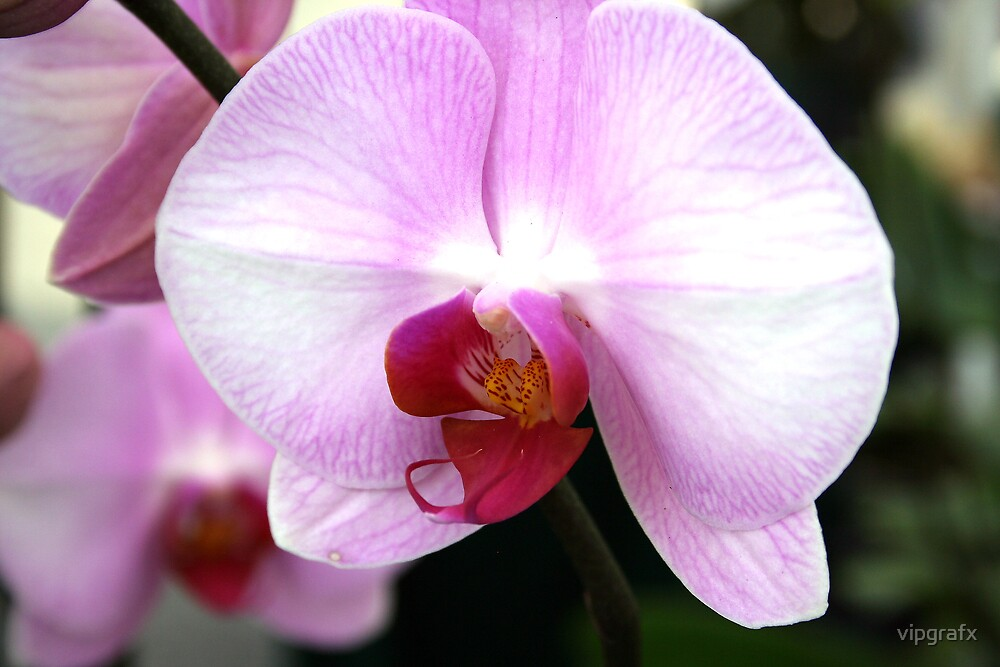 Another Orchid by vipgrafx