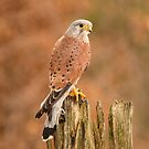 Perched Raptor by Dave Hare